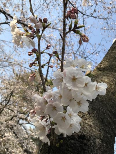 地元にも春が来た桜🌸🌸満開と大好きなスペイン料理