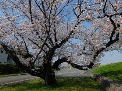 2018 赤羽 荒川の桜たち 今年も綺麗な花を見せてくれました 上