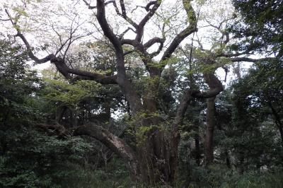 鎌倉広町緑地の大桜(桜大木)も大島桜