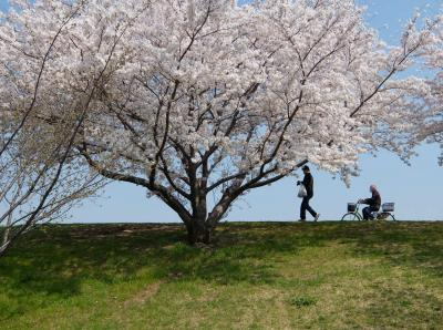 2018 赤羽 荒川の桜たち 今年も綺麗な花を咲かせてくれました 下
