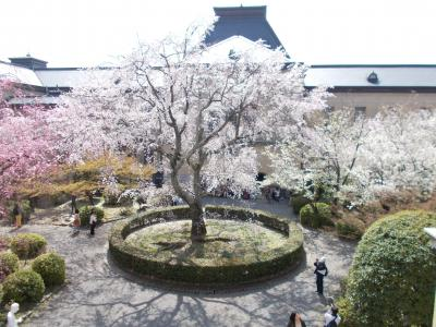 京都の桜はそろそろ見頃です