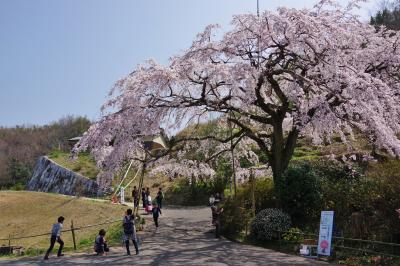 2018 綾川町 堀池の枝垂れ櫻を見に