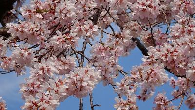 桜撮影の散歩 市内に咲く桜の花を見に出かけました 中巻。