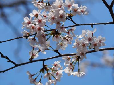 井之頭恩賜公園 桜真っ盛り! 気持ちの良い日を満喫して参りました。