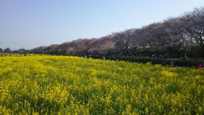 桜と菜の花、撮影は午前中か。