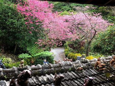 親子旅 2泊3日の沖縄 寒緋桜とたんかんと