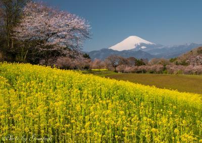 菜の花・桜・富士山の風景を求めて ~足柄上郡大井町の菜の花畑と山北さくら祭り~