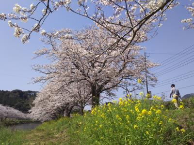 桜満開♪ 西伊豆 松崎は花ざかり