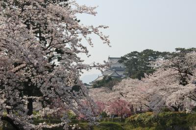 桜満開〜小田原城址公園