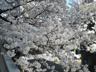 大塚と神田川の桜