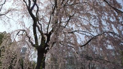 関内~山下公園~元町 桜を求めて散策!