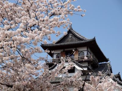 桜満開!国宝 犬山城と花ひらく さくらみくじ 昭和横丁でもうかの星に出会った! 金しゃちビールとローレライビール