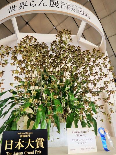 世界らん展-1  日本大賞は《マッシイズ》大株 ☆原種:20年来の丹精で開花