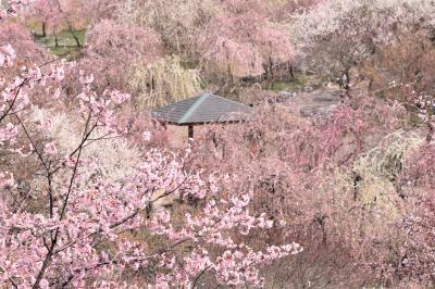 春爛漫♪ ピークを過ぎたいなべ梅林公園、花盛りの愛知県緑化センターの桜&じみ~な所にあるしだれ桜