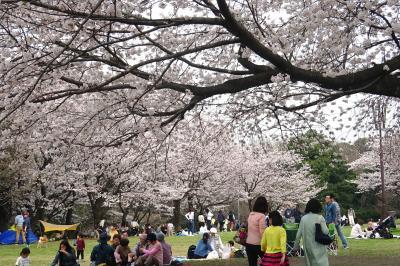 桜満開、カタクリも 四季の森公園