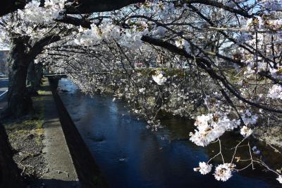 咲き始めた桜を見て来ました 2018.03.25 =小潤井川付近の桜&富士山=