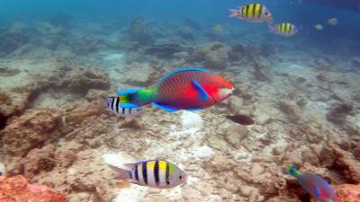 タイのピピ島 ホテル前でシュノーケリング  派手な魚が目の前に!!