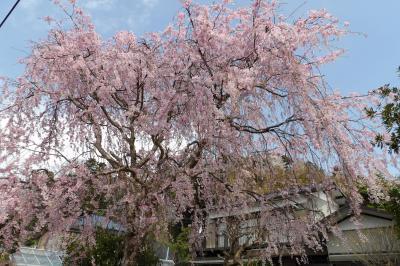満開の実方家の紅枝垂れ桜-2018年