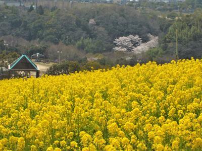 斜面を真っ黄色に染める神戸総合運動公園の菜の花