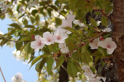散り際の大島桜