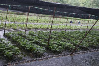 大王わさび農園