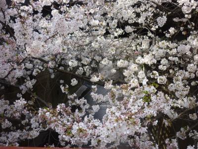 満開の桜  2018年3月