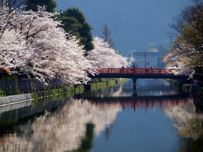 桜は、やっぱり京都が一番。それも、ブランド桜より、川端の桜が大好きです