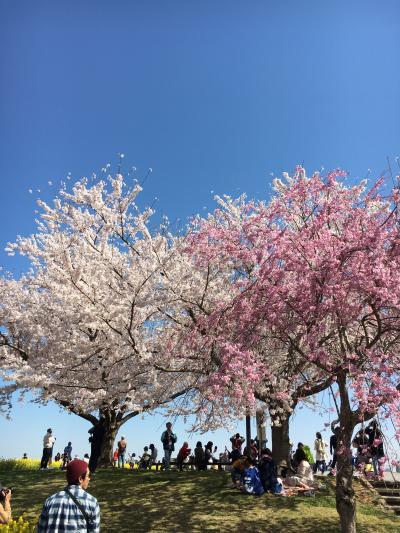 桜を愛でて来た。