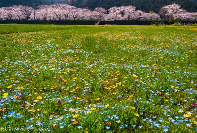 松崎町那賀川堤の桜並木と田んぼの花畑