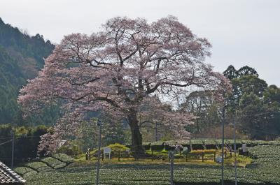 桜とSL 2018.03.26 =2.牛代のみずめ桜=