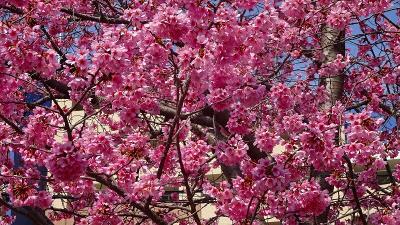春爛漫 天神川沿いの散歩 十六名公園~荻野西まで 下巻。
