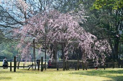南立石公園の枝垂れ桜2018