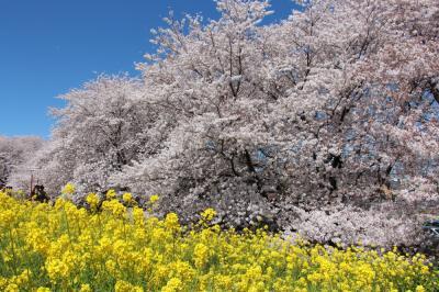 埼玉県の桜堤巡り