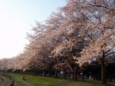 桜を観ながら、早朝散歩~(2018.03.31)