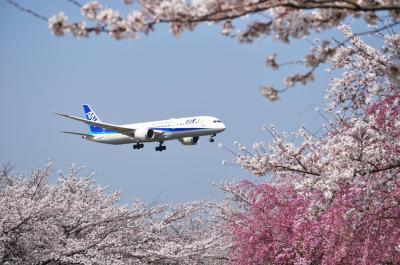 成田さくらの山公園で桜と飛行機