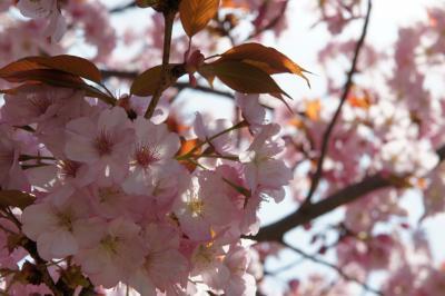 20180331-5 浜離宮庭園、ソメイヨシノが花盛り、と、ヤエザクラも咲き始めかな?
