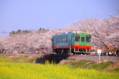 ブララブコー 「春限定!サクラと菜の花と真岡鐵道」