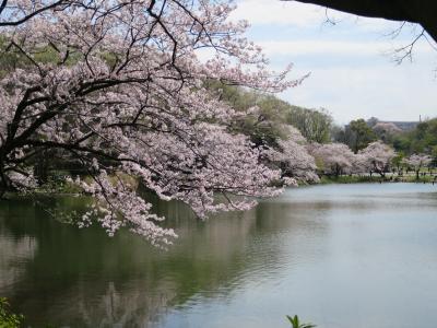 県立三ツ池公園 満開の桜