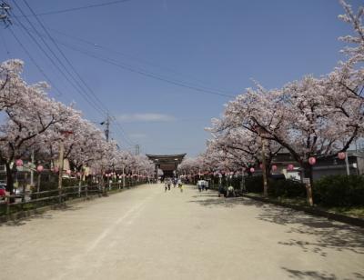 H30年 国府宮神社の桜並木
