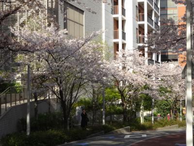 けやき坂の桜 2018
