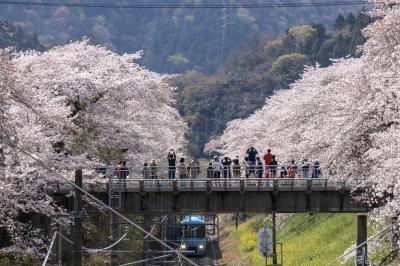 山北桜まつりと御殿場線桜の絶景!の巻♪