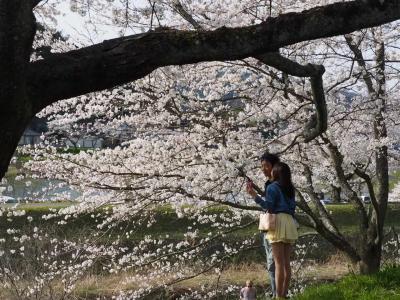 全長4キロの桜並木で