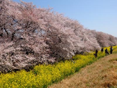 熊谷桜堤 どこまでも続く桜並木と菜の花のコラボは圧巻でした!