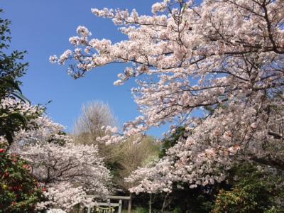 江の島・鎌倉フリーパスを使って桜巡り