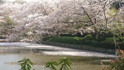 鎌倉鶴岡八幡宮へ桜を見に‼️