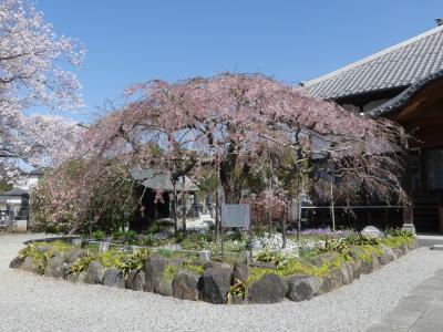 成就院の「親子しだれ桜」_2018_ほとんど散っています。でも周りのサクラは満開で見頃です。(栃木県・岩舟町)