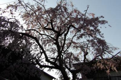 明月谷のお宅の枝垂れ桜