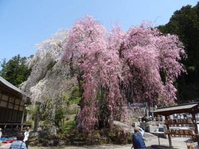 【秩父】清雲寺のしだれ桜を愛でる