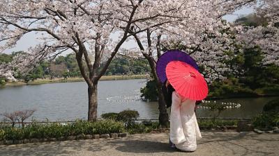 横浜の桜だって結構いけるんです!
