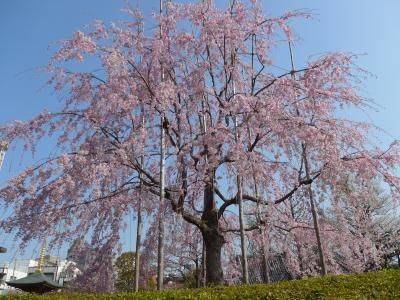 桜が散る前に弾丸日帰り花見ツアーin東京 Part2は枝垂桜満開の浅草寺で花見!! O(*^-^*)O